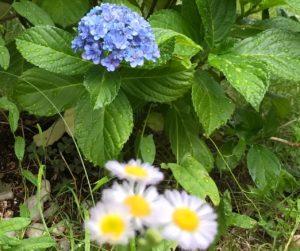 紫陽花とヒメジョオン