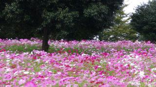 秋桜の別名・花言葉・色別特徴解説