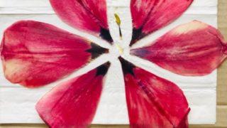チューリップの花びらを押し花にする